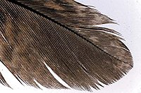 modern feather