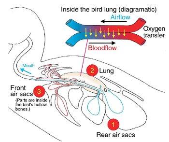 Inside the bird lung