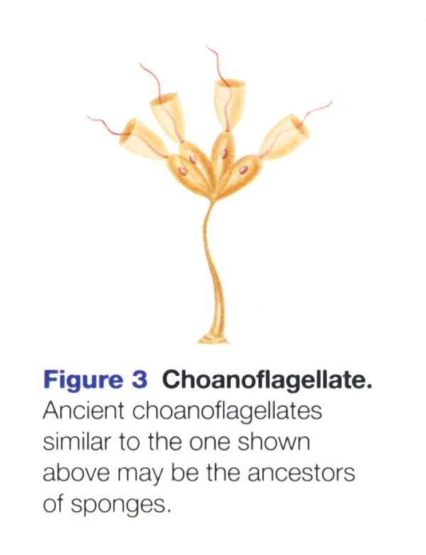 Choanoflagellate