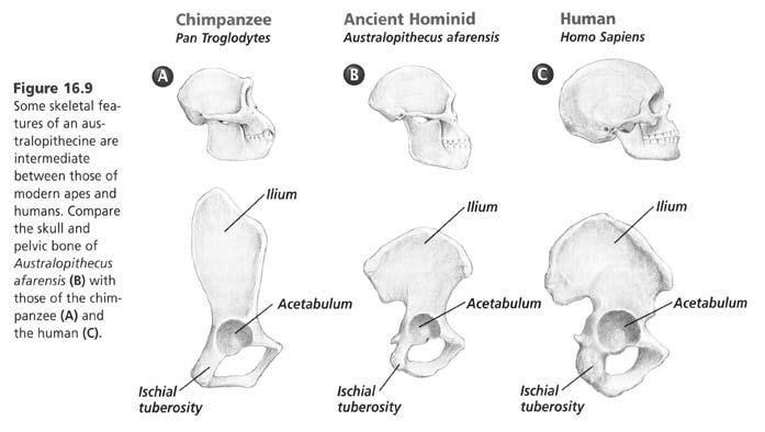 Human Chimp Skull
