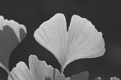 Ginkgoes
