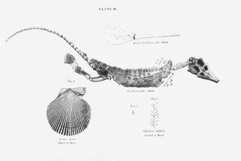 Fossil crocodile