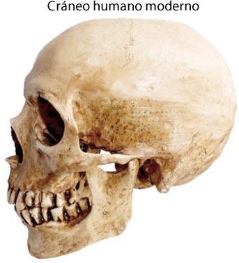 Modern human skull