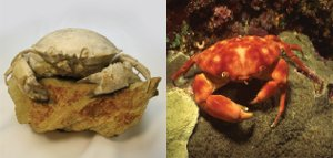 Fossil Crab Comparison