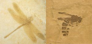 Dragonfly and Wasp Fossils
