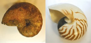 Fossil Shell Comparison