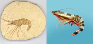 Fossil Shrimp Comparison