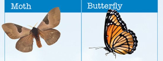 Moth and Butterfly Differences