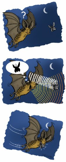 Bats Use Echolocation