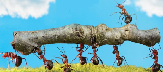 Ants Carrying a Stick