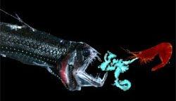 Shrimp Diverts Viperfish