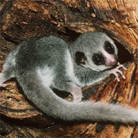 Fat-Tailed Lemur