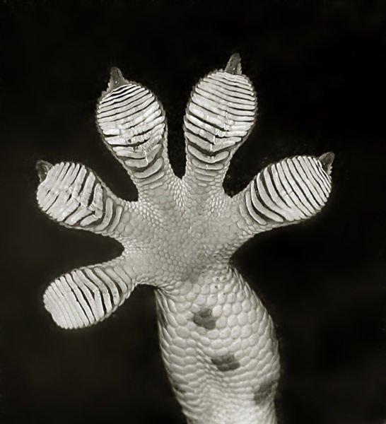 Gecko Foot