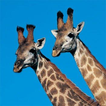 Aninimal Book: Giraffe | Kids Answers