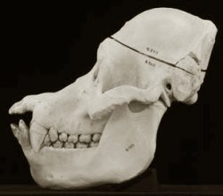 Cráneo de Orangután