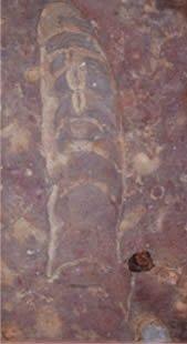 Fossil Nautiloid