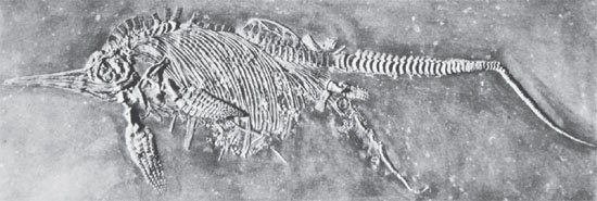 Fossilized Ichthyosaur Giving Birth