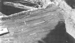 Bituminous Coal on Log