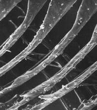 An electron micrograph of a flight feather