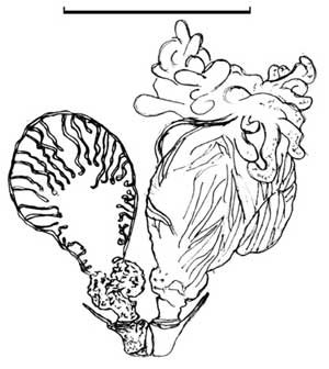 Pygidial Gland