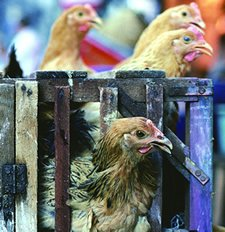 Domesticated birds have spread the bird flu virus