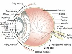 The Human Retina Shows Evidence of Good Design
