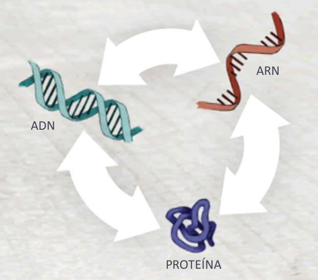 ADN, ARN, Proteina