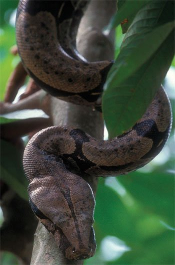 Boa Constrictor Kids Answers