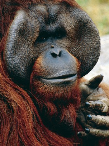 Orangutans Kids Answers