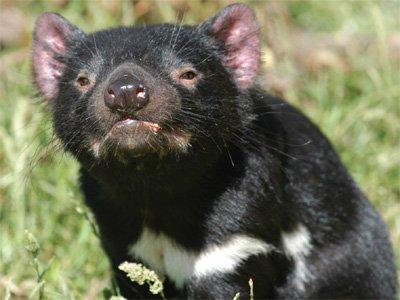 Tasmanian Devil Kids Answers