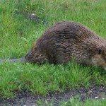 beaver-walking