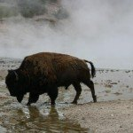 Buffalo in Yellowstone