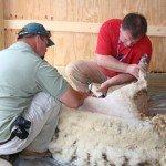 shearing-goats
