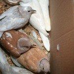 doves-arrive-6-11-08-003.jpg