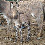 zonkey-foal-5-29-08.JPG