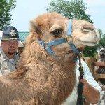 zonkey-zorse-camel-6-12-08-101.jpg