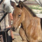 zorse-filly-may-15-08.JPG