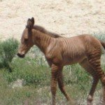 zorse-foal-side-view-5-20.JPG