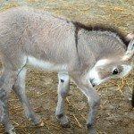 donkey-foal-6-28-08-039.jpg