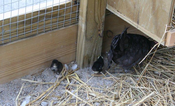2008-08-25-petting-zoo-chick-eggs-hatch-006.jpg