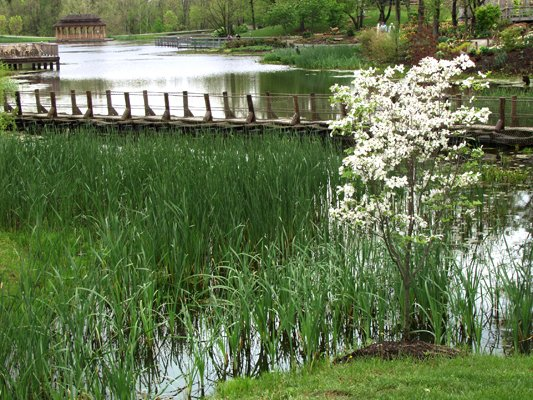dogwood-and-pond