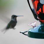 hummingbirds-3