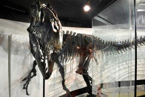 Allosaur fossil