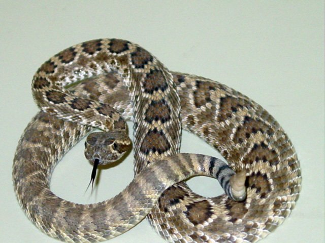 Mohave rattlesnakeImage credit: by Lvthn13 via Wikimedia Commons