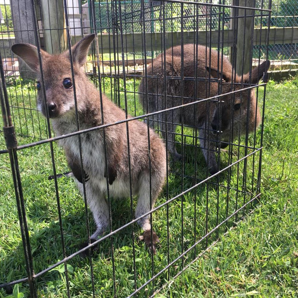 Boomer and Skippy in Enclosure