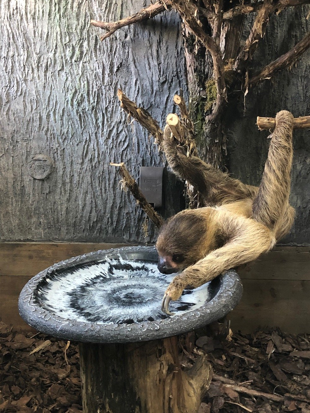 Sloth Drinking