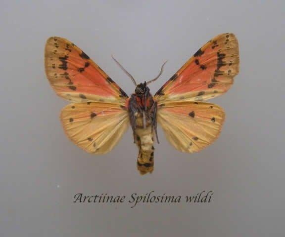 Arctiinae Spilosima Wildi