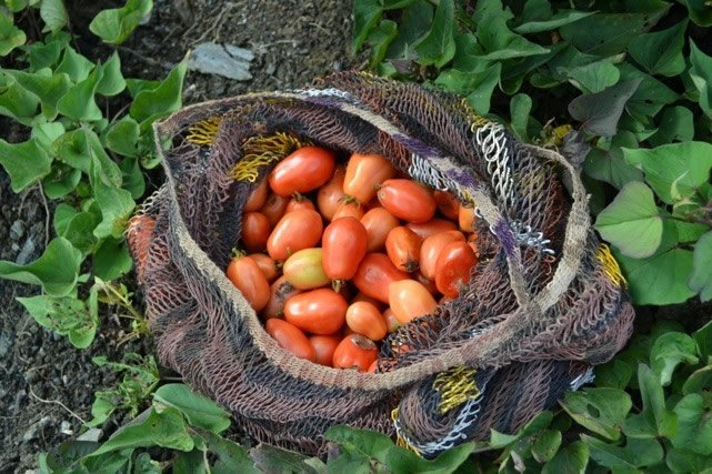 Tomatoes in Net Bag