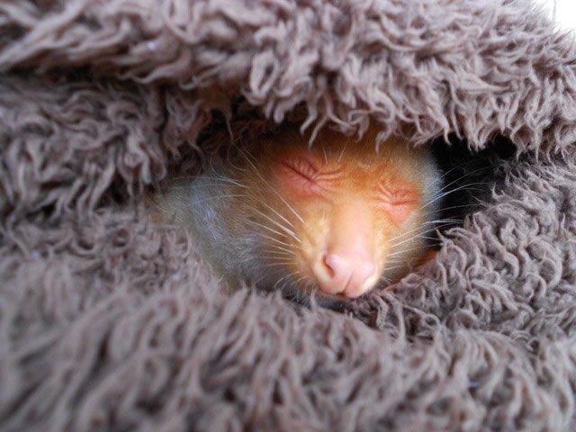 Newt in a Blanket