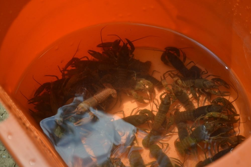 Crayfish in Bucket